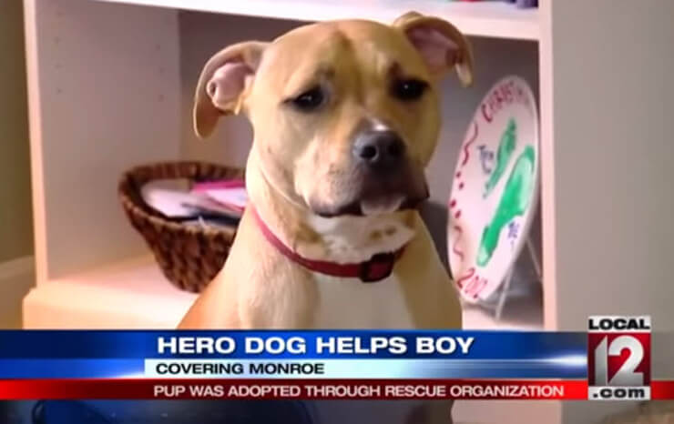 the pitbull who rescued his epileptic brother